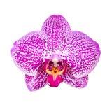 Fiore dell'orchidea isolato su fondo bianco Fotografia Stock