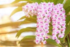 Fiore dell'orchidea nel giardino al giorno della primavera o di inverno Fotografia Stock Libera da Diritti