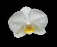Fiore dell'orchidea nelle gocce di rugiada Immagine Stock