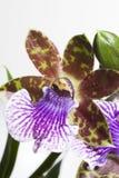 Fiore dell'orchidea - sp. di Zygopetalum. Fotografia Stock
