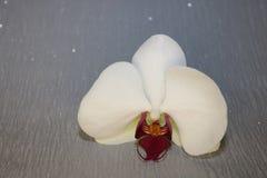 Fiore dell'orchidea su fondo grigio fotografia stock
