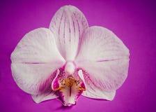 Fiore dell'orchidea sul fondo porpora di lerciume Immagini Stock Libere da Diritti