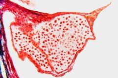Fiore dell'organo riproduttivo immagini stock libere da diritti