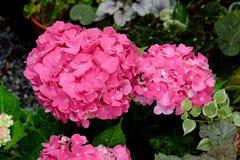 Fiore dell'ortensia Immagine Stock