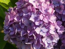 Fiore dell'ortensia Fotografia Stock