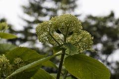 Fiore dell'ortensia dopo una pioggia Immagine Stock Libera da Diritti