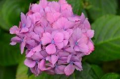 Fiore dell'ortensia nel giardino della Nuova Zelanda Immagini Stock Libere da Diritti