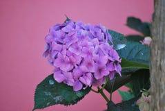 Fiore dell'ortensia nella fine dell'estate Fotografia Stock Libera da Diritti