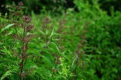 Fiore dell'ortica bruciante comune in un campo Fotografia Stock