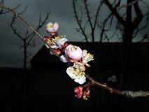 fiore dell'Primavera-albicocca Immagine Stock Libera da Diritti