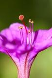 Fiore dell'Quattro-in punto Immagini Stock Libere da Diritti