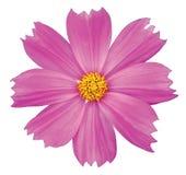 Fiore dell'universo Fotografie Stock