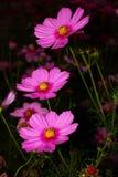 Fiore dell'universo Immagine Stock Libera da Diritti