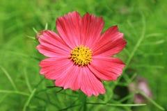 Fiore dell'universo immagini stock