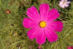 Fiore dell'universo che allunga i petali al sole Fotografia Stock Libera da Diritti