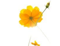 Fiore giallo dell'universo nell'ambito della luce solare Fotografia Stock