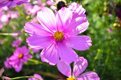 Fiore dell'universo di rosa del primo piano in giardino e nella luce solare , vista del primo piano immagine stock