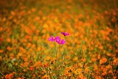 Fiore dell'universo fra Coreopsis arancio Immagini Stock