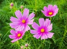 Fiore dell'universo nel campo Fotografia Stock