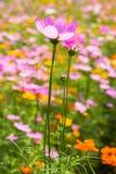 Fiore dell'universo nel giardino Fotografia Stock