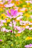 Fiore dell'universo nel giardino Immagine Stock