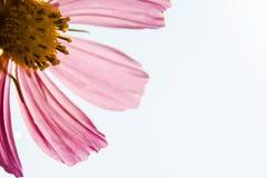 Fiore dell'universo su priorità bassa bianca Primo piano dell'isolato immagine stock