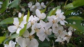 Fiore della bacca di sambuco fotografia stock libera da diritti