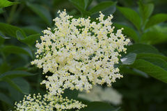 Fiore della bacca di sambuco Immagine Stock