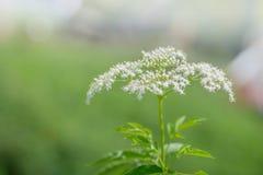 Fiore della bacca di sambuco fotografia stock