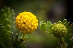 Fiore della bacchetta del bottone di Billy fotografia stock
