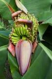 Fiore della banana Fotografia Stock Libera da Diritti