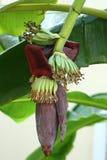Fiore della banana Fotografie Stock Libere da Diritti
