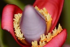 Fiore della banana Fotografia Stock