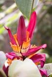 Fiore della banana Fotografie Stock