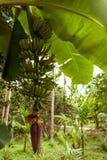 Fiore della banana con i frutti sul ramo Immagine Stock