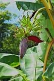 Fiore della banana con il mazzo di giovani banane Fotografie Stock Libere da Diritti