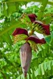 Fiore della banana con la piccola frutta Immagini Stock Libere da Diritti
