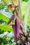 Fiore della banana, fiore della banana Immagini Stock Libere da Diritti