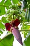 Fiore della banana sul banano Immagine Stock Libera da Diritti