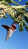 Fiore della banana sul banano Fotografia Stock