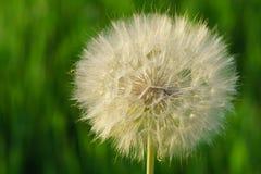 Fiore della barba di becco Immagini Stock