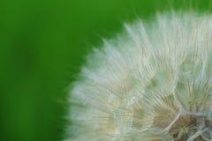 Fiore della barba di becco Fotografia Stock Libera da Diritti