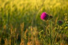 Fiore della bardana nel campo Fotografia Stock Libera da Diritti