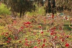 fiore della begonia immagini stock