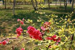 fiore della begonia fotografia stock