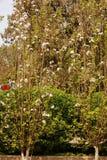 fiore della begonia immagine stock libera da diritti