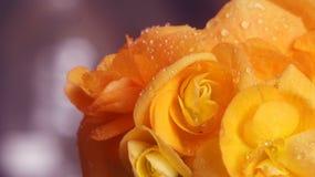 Fiore della begonia con le gocce di acqua Fotografie Stock Libere da Diritti