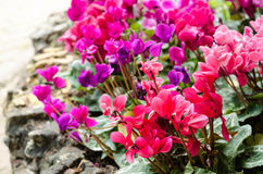 Fiore della begonia in giardino Fotografia Stock