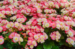 Fiore della begonia in giardino Fotografie Stock