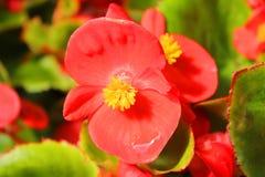 Fiore della begonia nel giardino Fotografia Stock